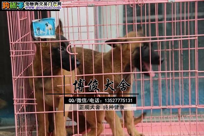 马犬、支持上门选狗、支持送狗上门、送喂养资料
