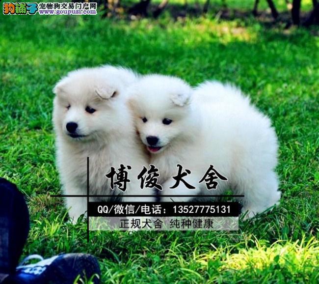 萨摩耶犬、支持上门选狗、支持送狗上门、送喂养资料