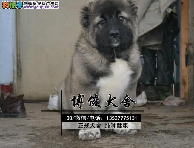 高加索犬、支持上门选狗、支持送狗上门、送喂养资料