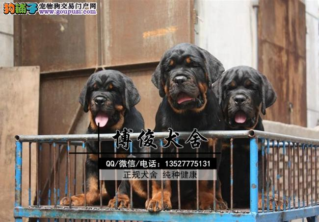 罗威纳、支持上门选狗、支持送狗上门、送喂养资料