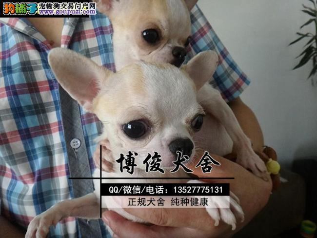 吉娃娃犬、支持上门选狗、支持送狗上门、送喂养资料
