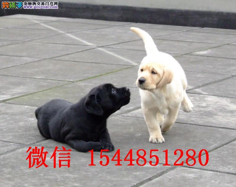 大连拉布拉多犬舍 纯种黑色拉布拉多 奶油色拉布拉多