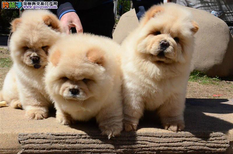 可爱胖嘟嘟的纯种松狮幼犬 健康质保