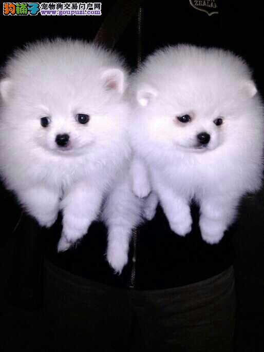 松江区博美犬狗场在哪里买博美犬