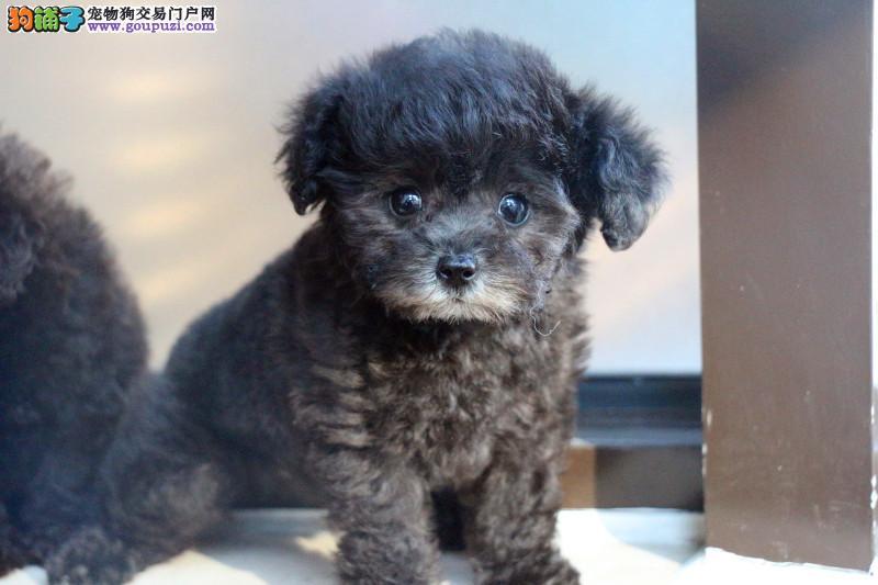 出售贵宾泰迪犬,实体犬舍直销