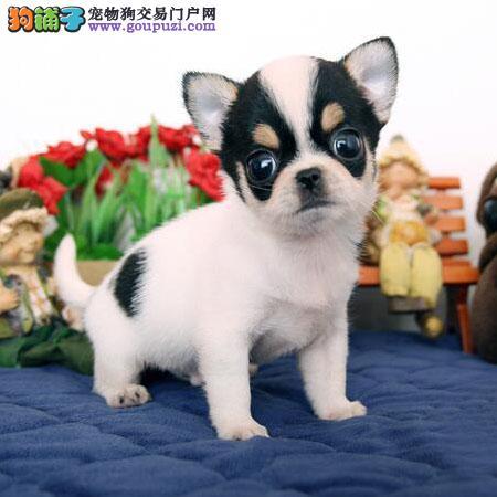 经典小体宠物犬,纯种吉娃娃,颜色全,苹果头大眼睛
