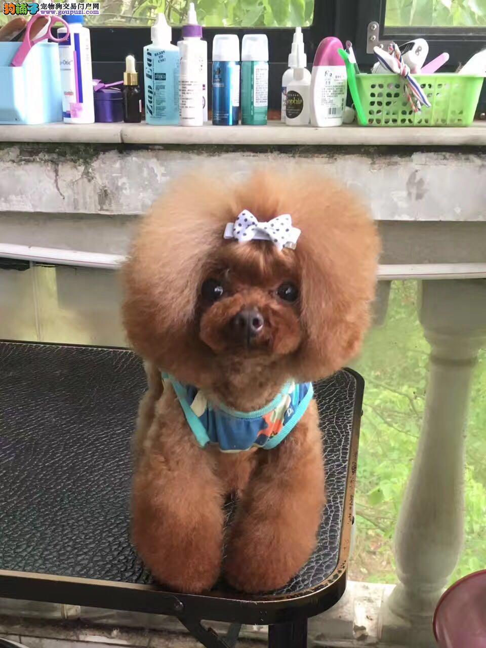超级可爱的泰迪犬,公母都有,包纯种