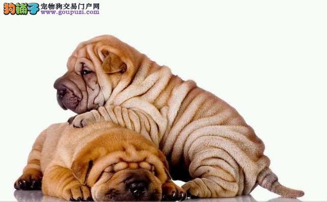 顶级高品质憨厚沙皮犬 质量三包 品质优越健康质保