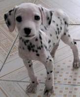 纯种斑点犬大麦町犬 疫苗驱虫已做 签协议可送货