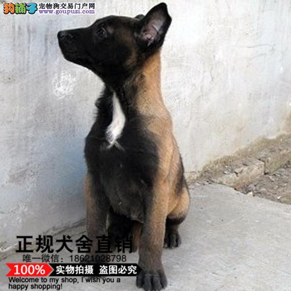 犬舍繁殖高品质 马犬幼犬 签协议 可上门挑选
