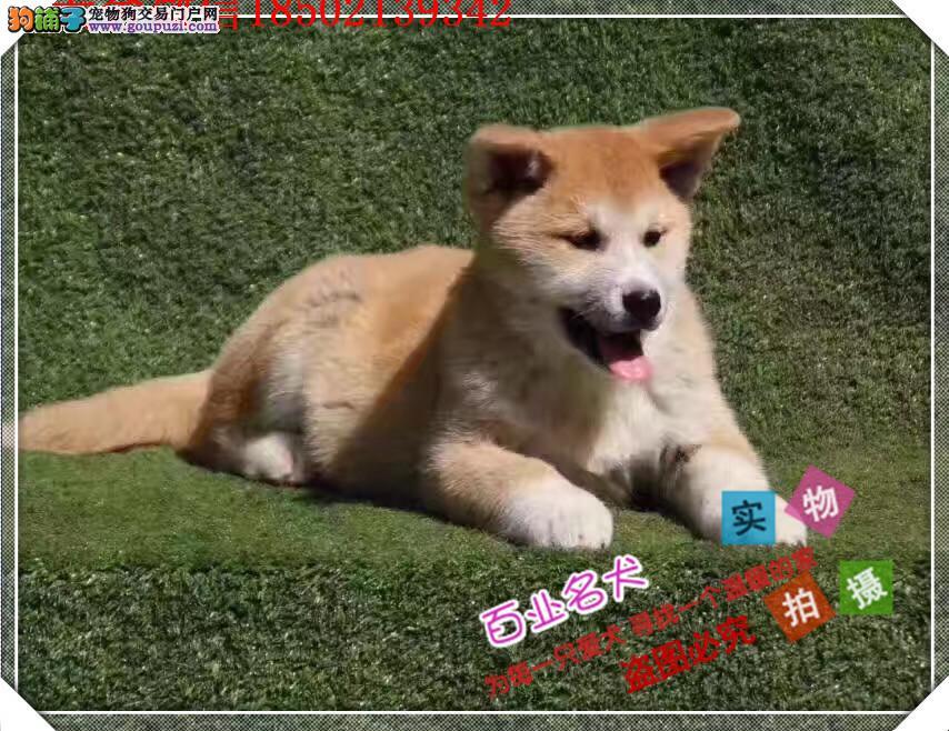 cku认证犬舍出售高品质 秋田幼犬签协议证件齐全