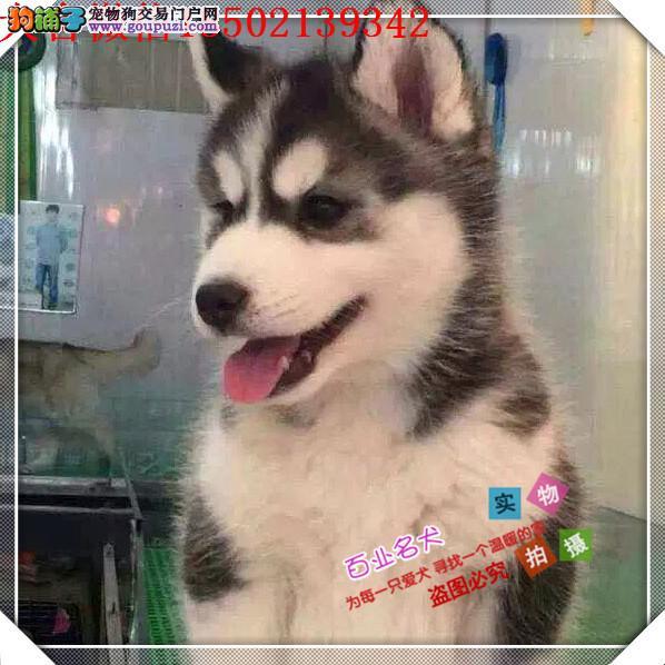 cku认证犬舍出售高品质二哈 比熊 签协议证件齐全