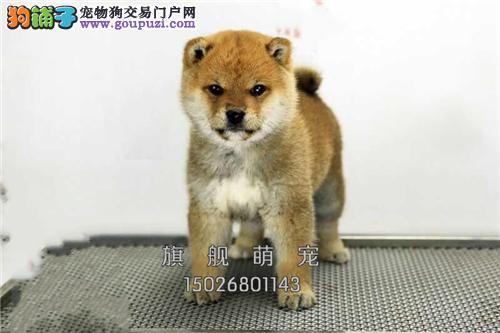 黑龙柴犬专业繁殖乖巧憨厚狗狗全国发货
