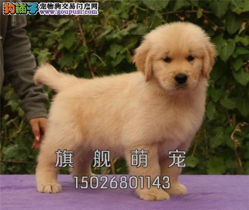 黑龙金毛自家养自家养猎犬猎犬全国发货