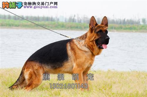 黑龙最大犬舍德牧顶级双血统全国发货