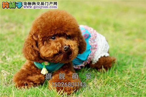 海南泰迪听话聪明小幼犬包纯种全国发货