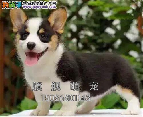 海南柯基乖巧肥臀幼犬可视频挑选全国发货