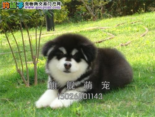 广东家养阿拉斯加极品三个月犬全国发货