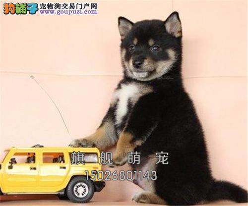 广东专业繁殖柴犬顶级正宗幼犬全国发货