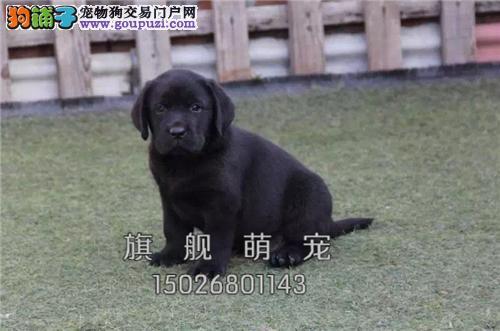 广东犬舍拉布拉多可爱帅气包纯种全国发货