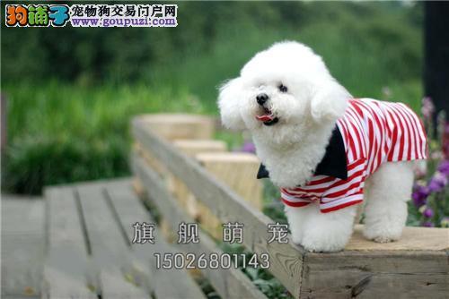 广东比熊听话漂亮韩系幼犬送用品全国发货