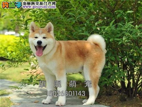 广东本地出售秋田赛级公母均有全国发货