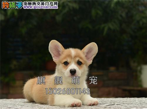广东家养柯基帅气纯种幼犬待售全国发货