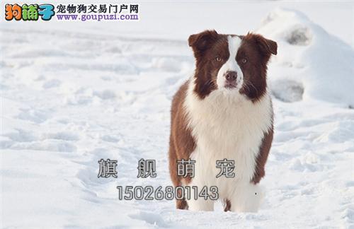 广东哪里有边牧赛级新生狗狗全国发货