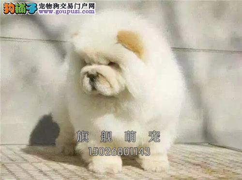 广东松狮听话胖胖幼犬待售全国发货