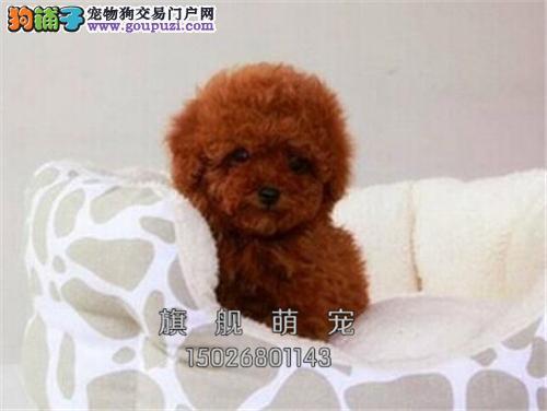 广东犬舍泰迪新生下单有礼送用品全国发货