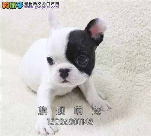 广东法牛健康机智包纯种全国发货