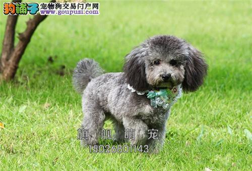 广东泰迪漂亮三个月双血统全国发货