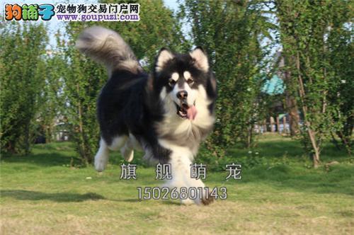 江西犬舍阿拉斯加小雪橇犬送用品全国发货