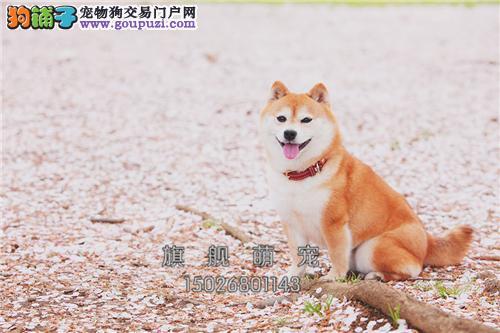 江西秋田乖巧健康日系犬保健康全国发货