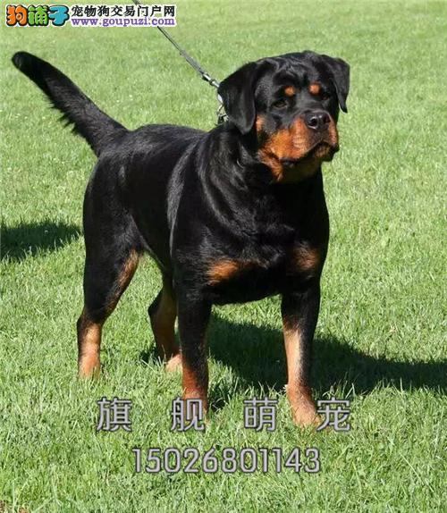 贵州罗威纳精品出售幼犬待售全国发货