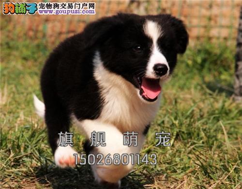 贵州边牧精品自家养小多色可选全国发货