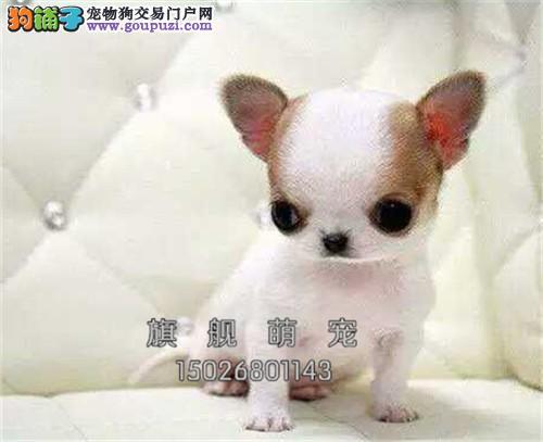 贵州出售吉娃娃聪明三个月黄花白全国发货