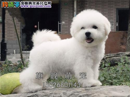 贵州出售比熊骨量足专业繁殖小犬全国发货