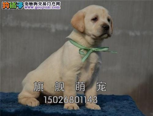 贵州拉布拉多帅气好养幼犬待售全国发货