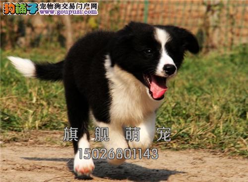 贵州边牧活泼可爱宽鼻线幼犬全国发货