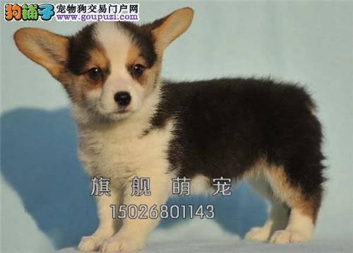 内蒙柯基出售小幼犬送用品全国发货