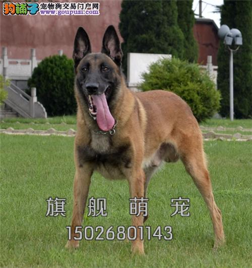 内蒙马犬专业繁殖精品三个月全国发货