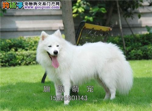 内蒙家养萨摩耶赛级漂亮小犬全国发货