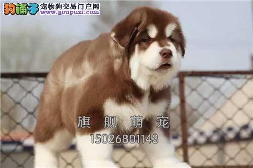 内蒙阿拉斯加小狗狗包纯种双血统全国发货