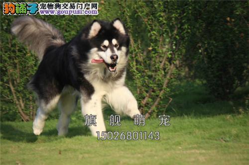 宁夏阿拉斯加小狗狗包纯种双血统全国发货