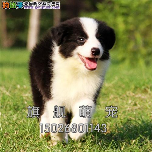 宁夏家养边牧帅气自家养犬全国发货