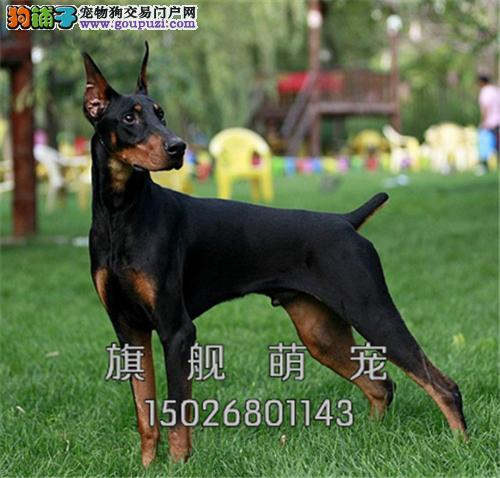 宁夏本地出售杜宾乖巧犬全国发货