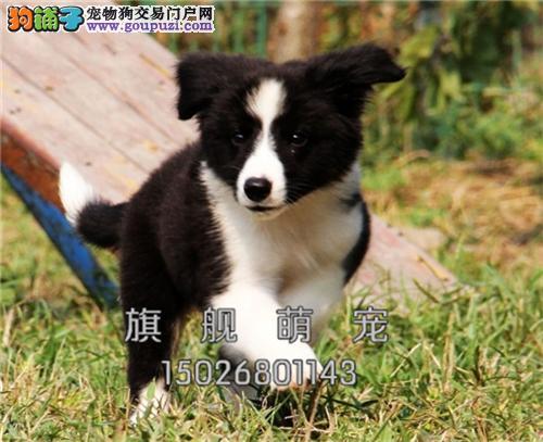 宁夏便宜出售边牧赛级小幼犬待售全国发货