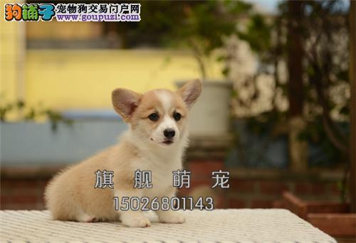 宁夏柯基低价出售帅气三个月犬全国发货
