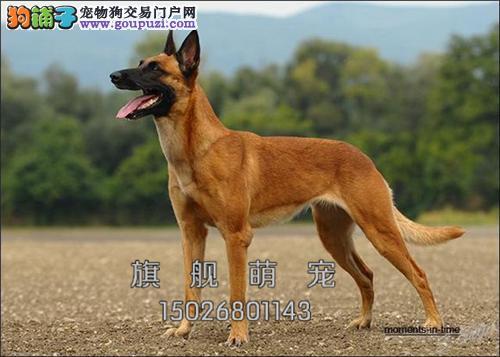 宁夏最大犬舍马犬聪明狗狗保健康全国发货